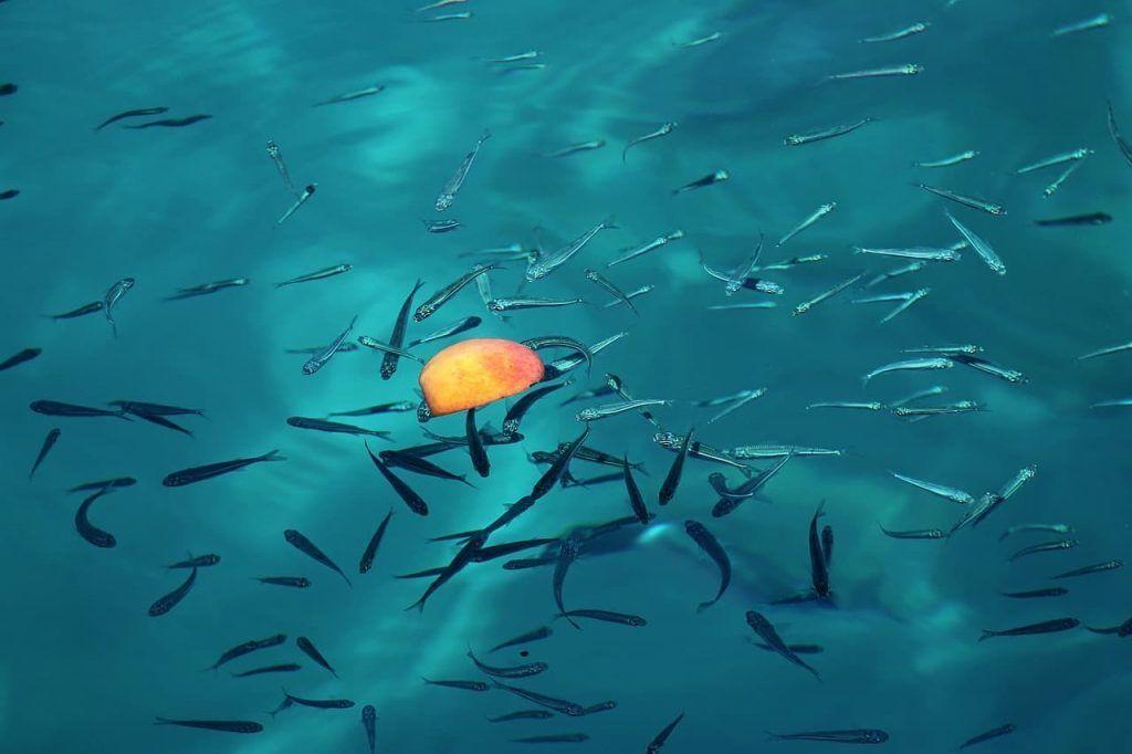 alimentación del ajolote, pequeños peces